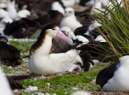 アホウドリの新繁殖地、餌は十分にあるのか?