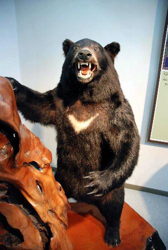 九州のクマ、本当に「絶滅」したのか