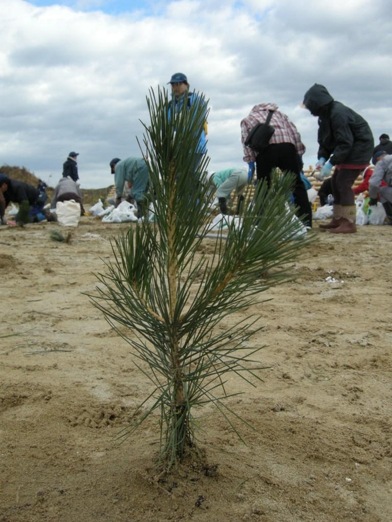 被災地の海岸林再生、善意をどう生かすか