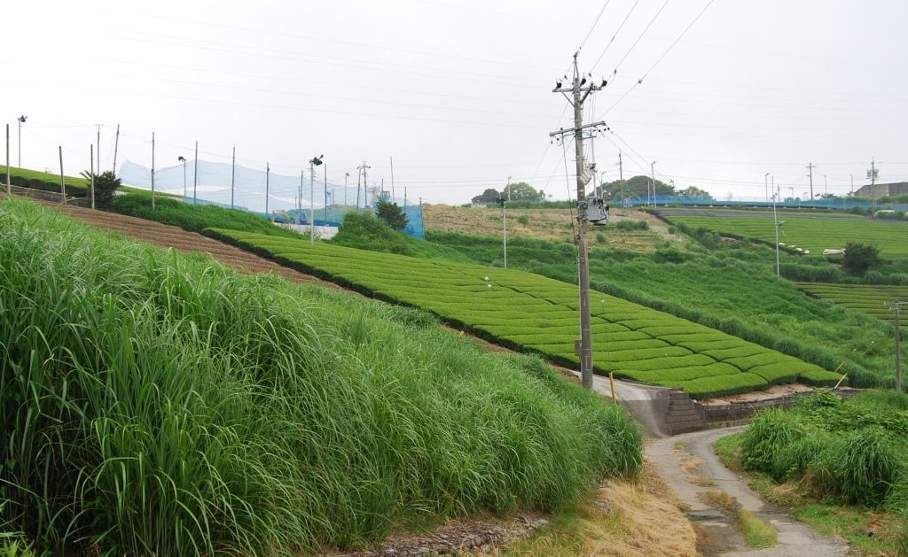 茶どころの「茶草場」は農業遺産になるか(上)