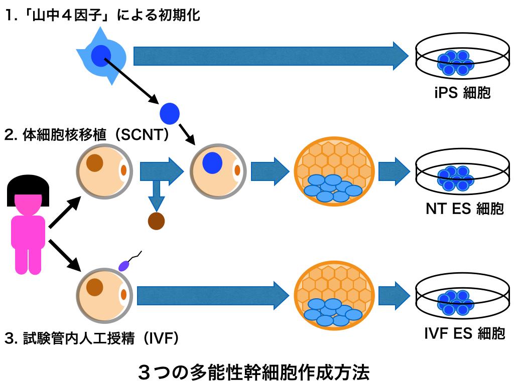 ヒトiPS細胞は安全性に問題あり?