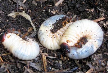 カブトムシの幼虫たちは、なぜ集まるの?
