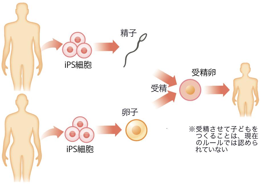 不妊治療などのため、皮膚から卵子を作ってよいか