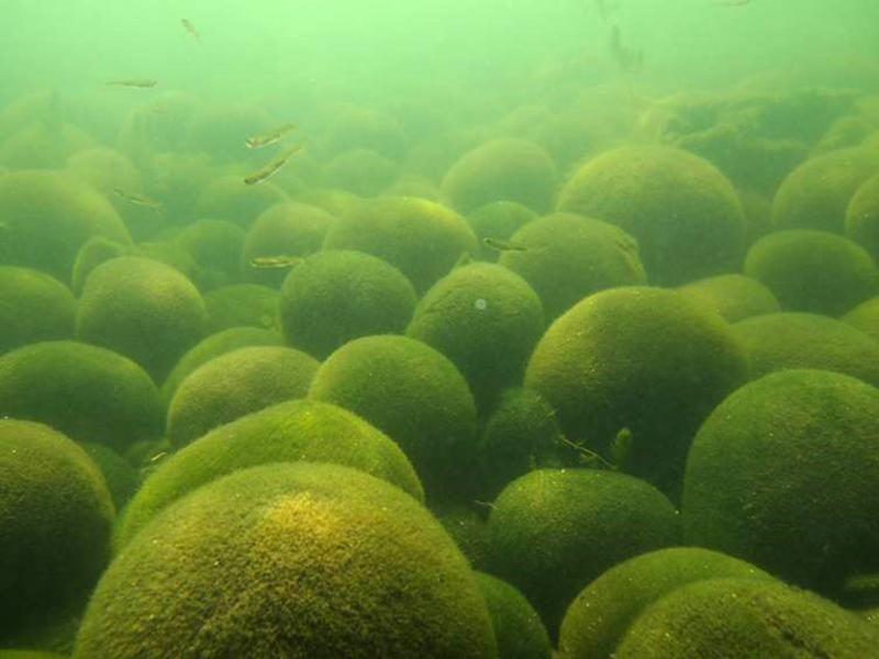 発見から120年、阿寒湖の球状マリモ