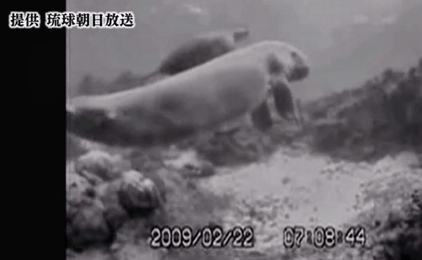 Secret footage: dugong swimming in Henoko