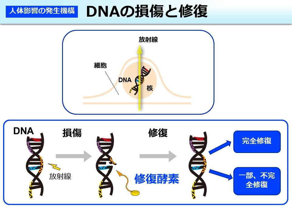 DNAの損傷と修復の概念図。出典:環境省「放射線による健康影響等に関する統一的な基礎資料 平成29年度版」