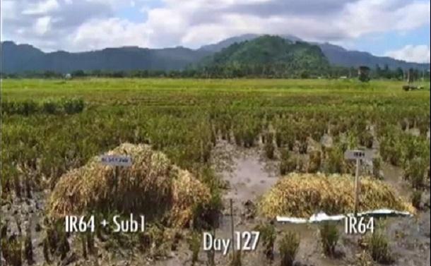 洪水に耐えるイネを創出した女性植物学者たち