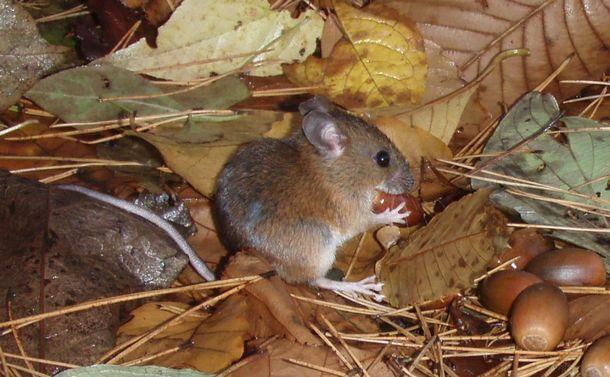 今年はネズミ年 国獣に「アカネズミ」はいかが?