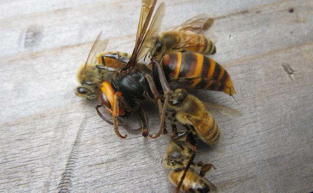 セイヨウミツバチの蜂球はオオスズメバチへの必殺技になるか?