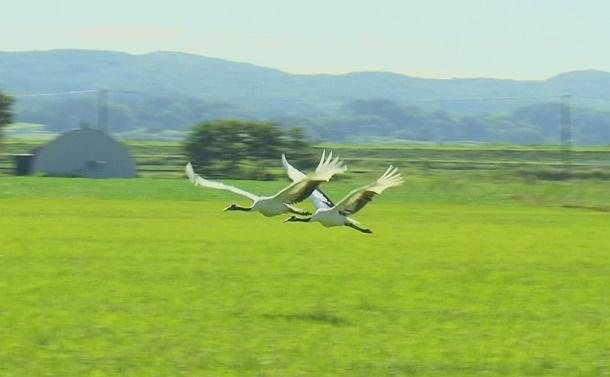 水田地帯にタンチョウを呼び戻す農家の挑戦、ついに成功